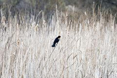 Mały czerwieni skrzydła kos umieszczał wśród lekkich wiosen płoch, beaut zdjęcia stock