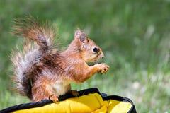 Mały czerwonej wiewiórki obsiadanie na torbie i mieniu dokrętka na zamazanym Zdjęcia Stock
