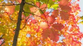 Mały czerwony dąb z jaskrawymi liśćmi, jesień zbiory wideo