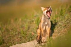 Mały Czerwony Fox ziewa blisko jego dziury w pięknym świetle słonecznym obrazy stock