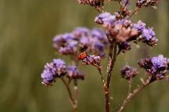 Mały czerwony ladybird fotografia royalty free