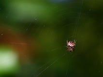 Mały czerwony okręgu tkacza pająk Obrazy Stock