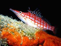 mały czerwony ryby białe Obraz Stock