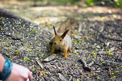 Mały czerwony squrell dziecko w lasowym lecie 2017 fotografia royalty free