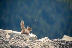 Mały czujny chipmunk obsiadanie na krawędzi skały z lasem na tle obrazy stock
