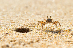 Mały denny krab na plaży Fotografia Royalty Free