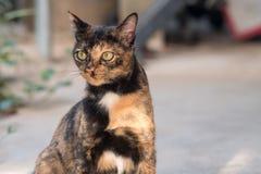 Mały domowy kota patrzeć Obraz Royalty Free
