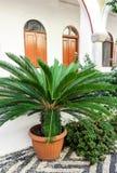 Mały doniczkowy sago palmy Cycas revoluta w podwórzu monaster Panormitis na wyspie Symi, Grecja zdjęcie stock
