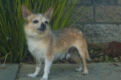 Mały Druciany z włosami chihuahua pies patrzeje prawy fotografia stock