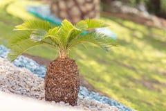 Mały drzewko palmowe z skałami w hotelowym kurorcie fotografia stock