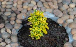 Mały drzewny żółty kolor z bielu kamienia tłem zdjęcia stock