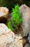 Mały drzewny dorośnięcie od skał obrazy royalty free