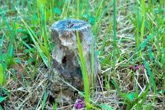 Mały drzewny fiszorek otaczający trawą Obrazy Stock