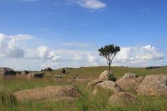 Mały drzewny trwanie samotnie otaczający skałami przy Sibebe skałą, afryka poludniowa, Swaziland, afrykańska natura, podróż, kraj Fotografia Stock