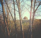 Mały drzewo na wzgórzu obramiającym między wielkimi białej osiki drzewami Obraz Royalty Free