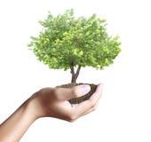 Mały drzewo, roślina w ręce obraz stock