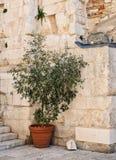Mały drzewo w garnku, Diocletian pałac, rozłam, Chorwacja zdjęcia stock