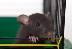mały dziecięcy szczur Obraz Royalty Free