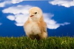 mały dziecko kurczak obrazy royalty free