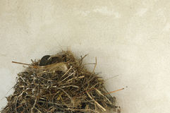 Mały dziecko ptak w gniazdeczku blisko ściennej tekstury Zdjęcia Royalty Free