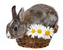 Mały Easter królik w koszu Zdjęcia Stock
