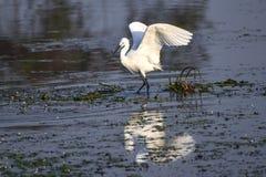 Mały Egret, Egretta grazetta, jest gatunki mała czapla w rodzinnym Ardeidae Genus imię komesi od Provençal obrazy royalty free