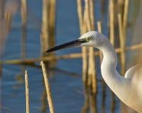 mały egret spojrzenie obrazy royalty free