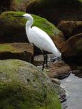 Mały egret w Camara De Lobos, madera obrazy royalty free