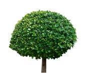 Mały ficus drzewo odizolowywający na białym tle Zdjęcia Royalty Free