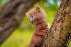 Mały figlarki obsiadanie na drzewie Figlarka chodzi pet Puszysty dymiący kot z ostrzyżeniem Groommer ostrzyżenia kot obraz stock