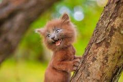 Mały figlarki obsiadanie na drzewie Figlarka chodzi pet Puszysty dymiący kot z ostrzyżeniem Groommer ostrzyżenia kot zdjęcia stock