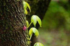 mały fiołkowy Cercis siliquastrum kwiatu dorośnięcie w drzewnym bagażniku z zielonym tłem głębokość pola płytki fotografia royalty free