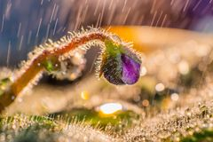 Mały fiołkowy kwiat w w górę wodnych kropel zdjęcie stock
