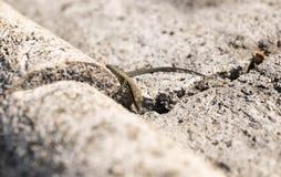 Mały gad jaszczurki Europe skały kamienia słońce pogodny fotografia royalty free