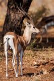 Mały gazela profil brać, w ich naturalnym siedlisku, Afryka Zdjęcia Stock