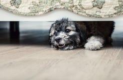 Mały gniewny szczeniak pod łóżkiem Obrazy Royalty Free
