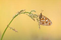 Mały Graniczę Fritillary motyla odpoczywać Zdjęcia Royalty Free