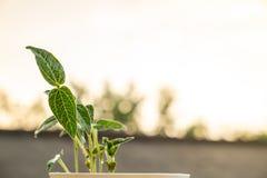 Mały greenery który uzyskiwał od Mung bobowych rośliien obrazy royalty free