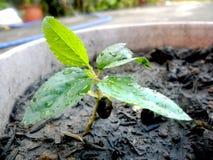 Mały Gronowy drzewo obraz stock