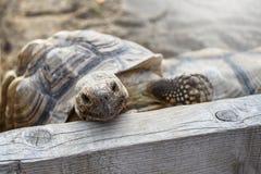 Mały gruntowy żółw wśrodku drewnianego ogrodzenia przy podwórko obraz stock