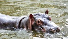 Mały hipopotamowy dopłynięcie w jego stawie fotografia stock