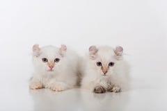 Mały i Młody Jaskrawy Biały Smutny amerykanina kędzioru pary obsiadanie na białym stole Biały tło Obraz Royalty Free