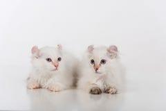 Mały i Młody Jaskrawy Biały Smutny amerykanina kędzioru pary obsiadanie na białym stole Biały tło Zdjęcia Royalty Free