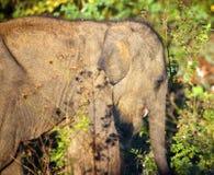 Mały indyjski dziecko słoń Obrazy Royalty Free