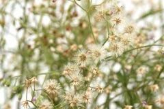 Mały ironweed, Coloured fleabane, Coloured ironweed, Purpurowy fleabane, Kwitnący fleabane Vernonia cinerea Less Fotografia Stock