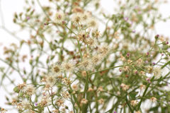 Mały ironweed, Coloured fleabane, Coloured ironweed, Purpurowy fleabane, Kwitnący fleabane Vernonia cinerea Less Zdjęcie Royalty Free