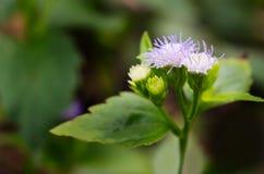 Mały ironweed kwiat, popiół lub coloured fleabane lub popiół coloured Fotografia Stock