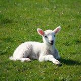Mały jagnięcy odpoczywać na trawie Obrazy Royalty Free