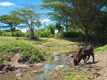 Mały jagnięcy pić od strumienia  Zdjęcie Stock