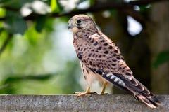 Mały jastrząbka ptak Zdjęcia Royalty Free